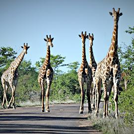 Giraffe Roadblock by Pieter J de Villiers - Animals Other