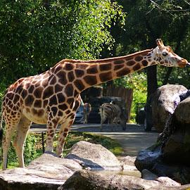 Jerapah by Mulawardi Sutanto - Animals Other ( park, zoo, indonesia, jerapah, travel, animal )