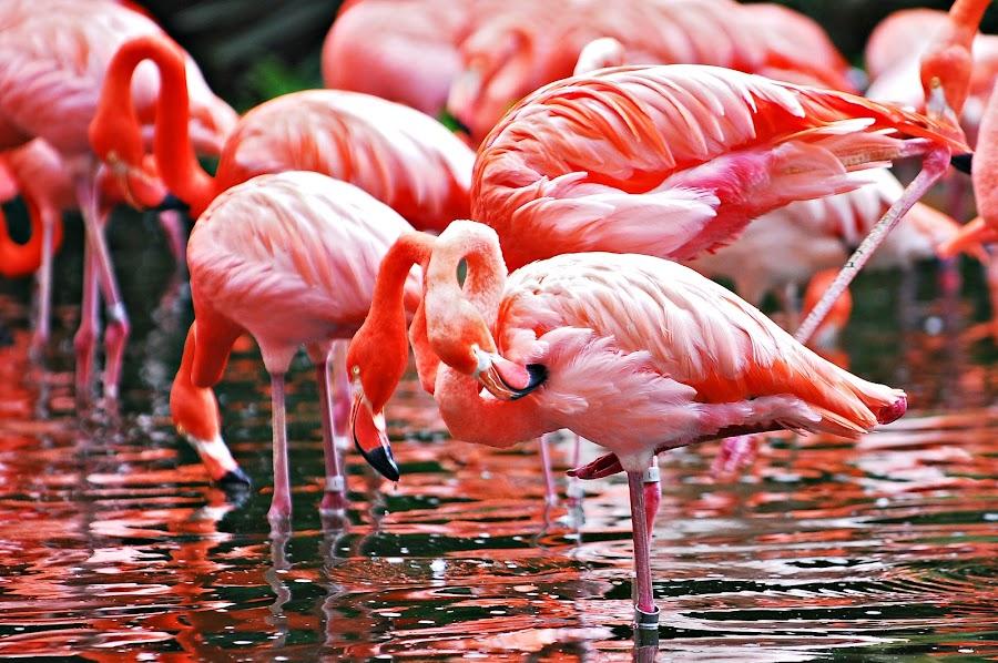 Dances by Doms Valentin - Animals Birds ( domskidoodle, flamingo, doms, domsvalentin )