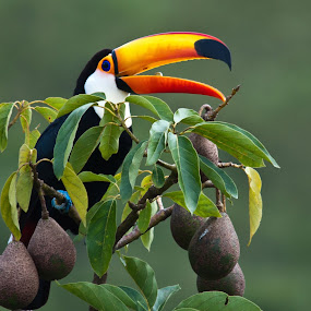Tucano by Marcos Lamas - Animals Birds