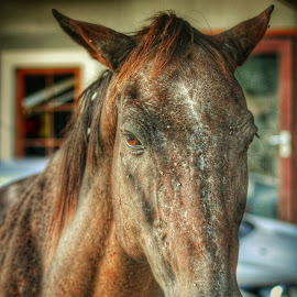 Horse by Chilene Verheem - Animals Horses ( farm, horses, horse, brown, flies )