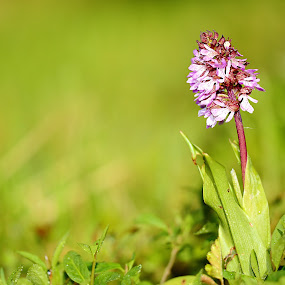 Anacamptis pyramidalis by Gérard CHATENET - Flowers Flowers in the Wild