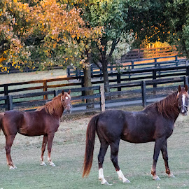 posing by Deborah Murray - Animals Horses ( fence, orange, horses, grass, autumn, green, posing, leavees )