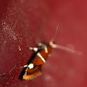Suzuki's promolactis moth