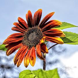 CP sunflower 01 by Michael Moore - Flowers Single Flower