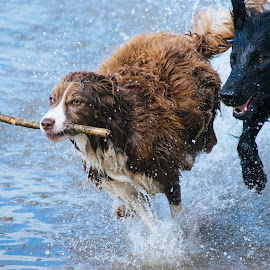 stick time by Joe Uhase - Animals - Dogs Playing ( playing, water, stick, dogs, running )