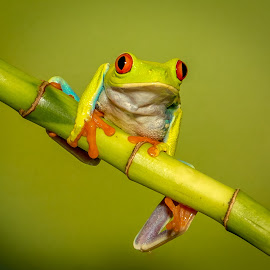 Hold on! by Myra Brizendine Wilson - Animals Reptiles ( frog, red eyed tree frog, reptile, animal )