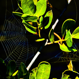 SPIDER by Marc-Andre Grenier - Nature Up Close Webs ( nature, green, web, spider, leaves )