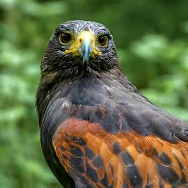 Harris hawk by Mandy Hedley - Animals Birds ( bird, harris, prey, portrait, hawk )