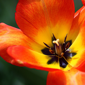 Close Up to a Tulip by Tony Huffaker - Flowers Single Flower ( red, close-up, tulip, flower )