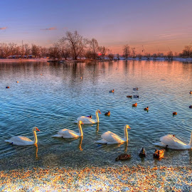 Swan lake by Tihomir Beller - Landscapes Waterscapes