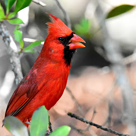 Mr. Robin Redbird by Ruth Overmyer - Animals Birds
