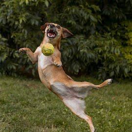 Catching the ball by Aleksandra Ewa Chmiel - Animals - Dogs Playing ( ball, catching the ball, og )