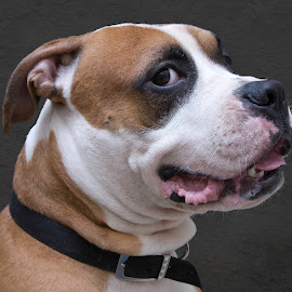 Locklyn - A Shelter Dog by Ginger Wlasuk - Animals - Dogs Portraits ( shelter, shelter dog, american bulldog, rescue, dog )