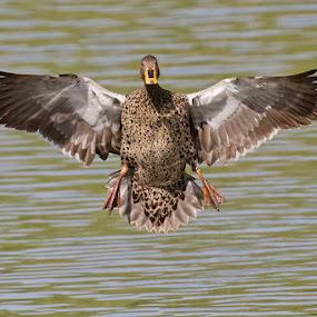 Yellow billed Duck by Louis Pretorius - Animals Birds (  )
