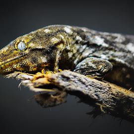 Rhacodactylus leachianus by Mauritz Janeke - Animals Reptiles ( uae, green planet, mauritz, leachie lizard, reptile, rhacodactylus leachianus )