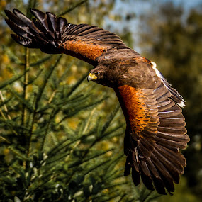 Harris Hawk by Nigel Bullers - Animals Birds ( bird, flight, harris, prey, hawk, animal, motion, animals in motion, pwc76, Bird in flight, bif )