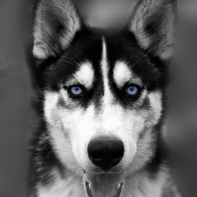 blue eyes by Mark Shepherdson - Animals - Dogs Portraits (  )
