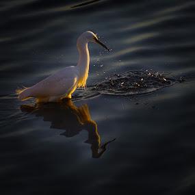 by Indra Fardhani - Animals Birds ( bird, wildlife, egret,  )