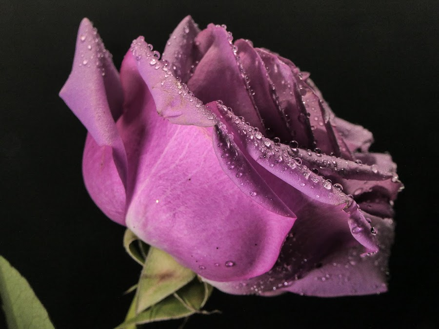 Purple Rose 4 by Dave Walters - Flowers Single Flower ( acro, nature, colors, purple rose 5, lumix fz2500 )
