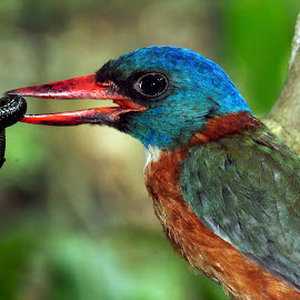 Lunch Time by Ignas Dwiwardhana - Animals Birds ( celebes, wild bird, wildlife photography, kingfisher, wildlife )