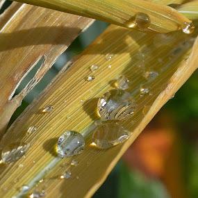 Close up water drops by Zhenya Philip - Nature Up Close Natural Waterdrops (  )
