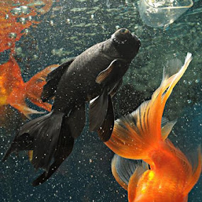 yin yang by Ron de Jesus - Animals Fish