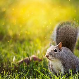 Bokeh Squirrel by Bill Tiepelman - Animals Other ( lawn, nature, grass, sunshine, squirrel, animal )