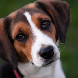 Beagle by Eugene Linzy - Animals - Dogs Portraits ( female, beagle, dog, spring, portrait )