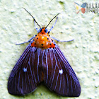 Snouted Tiger Moth