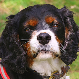Jack by Chrissie Barrow - Animals - Dogs Portraits ( pet, male, white, ears, fur, dog, nose, tan, black, portrait, king charles spaniel, eyes )