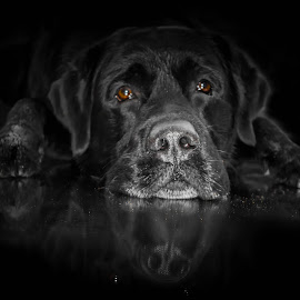 lab by Bjørnar Eriksen - Animals - Dogs Portraits ( black background, black dog, dog portrait, dog, black )