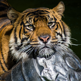 Tiger by Andy Cross - Animals Lions, Tigers & Big Cats ( water, face, wild, animals, cat, tiger, white, wildlife, angry, beauty, hunter, carnivore, nature, zoo, outdoor, hunt, striped, feline, big, leopard, animal,  )