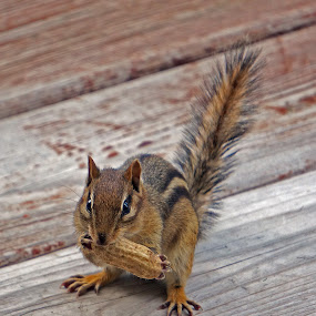 Hand Fed Cheeky by Gary Amendola - Animals Other Mammals ( chipmunk peanut cute squirrel,  )