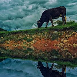 Cow by Costin Mugurel - Digital Art Animals ( clouds, sky, nature, cow, animal )
