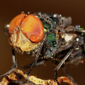 Flies caught in the rain.. by Ubayoedin As Syam - Animals Insects & Spiders