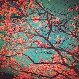 cherry tree  by Grace Grantham - Nature Up Close Trees & Bushes (  )