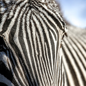 Zebra Twist by Nigel Bullers - Animals Other ( wild, black and white, bw, zebra, africa, animal )