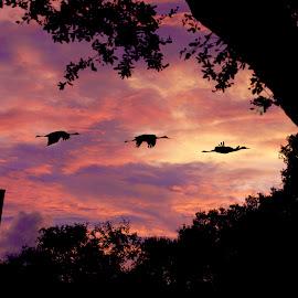 Sandhill Cranes at sunset by Sandy Scott - Landscapes Weather ( sandhill cranes in flight, fauna, flora, wildlife, landscape, birds, sun, skies, nature, sunset, silhoutee, trees, crane, sunrise, sandhill cranes, birds in flight,  )