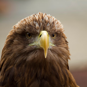 Angry by Mark Holm - Animals Birds ( bird of prey, eagle, white tailed, captive, sea eagle )