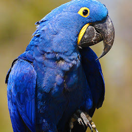 Ara bleu by Gérard CHATENET - Animals Birds