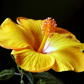 Yellow delight  by Asif Bora - Flowers Flowers in the Wild (  )