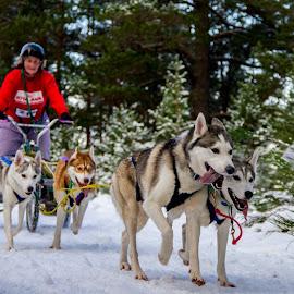 Sled race  by Gordon Bain - Animals - Dogs Running ( huskies, musher, snow, cairngorms, sled )