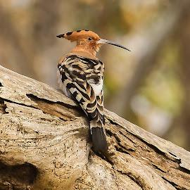 Hoopoe by S Balaji - Animals Birds ( s.balaji, wild, animals, nature, birds )