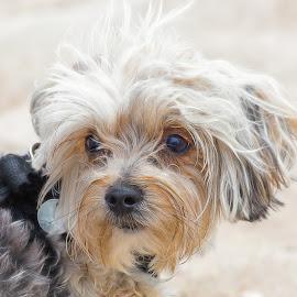 Shih Tzu by Dave Lipchen - Animals - Dogs Portraits ( shih tzu )