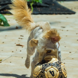 Soccer, dog style by John Pounder - Animals - Dogs Playing ( playing, ball, soccer ball, dog, lion cut, running )