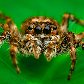 Baby Jumper by Dave Lerio - Animals Insects & Spiders (  )
