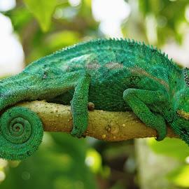 Sleepy by Malcolm Jack - Animals Reptiles ( nature, wildlife, reptile, chameleon, madagascar )
