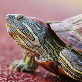 Turtle #2 by Koh Chip Whye - Animals Other (  )