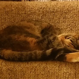 Lily sleeping by Kerrie Bosson - Animals - Cats Portraits ( tired, tabby, sleepy, cute, sleeping )